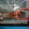 กุ้งสาย Procambarus มีฝ้า ดูยังไงครับ ?
