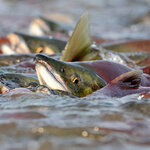 ประโยชน์ของ Salmon Ovary Peptide รกปลาแซลมอน