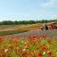 ฮอกไกโด Lavender Lover ซัปโปโร โอตารุ โนโบริเบทสึ ฟูราโน่ บิเอะ 5วัน 3คืน มิ.ย-ต.ค.60 thumbnail 13